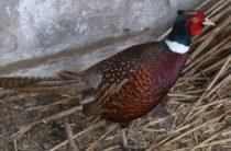 Переселенец из Луганщины на Волыни взялся за разведение фазанов